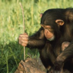 Scientists Have Captured Chimps Performing Bizarre Rituals